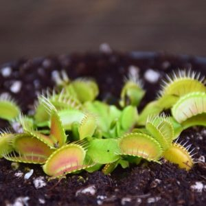plante-carnivore-dionaea-muscipula-dionée-attrape-mouche