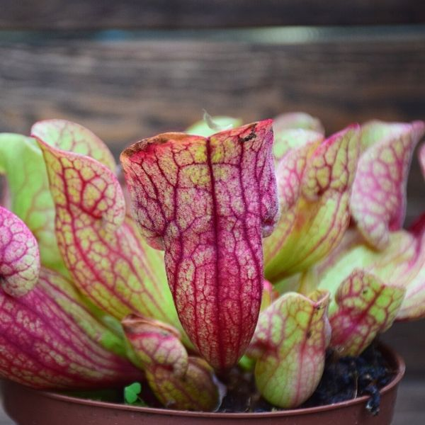 Sarracenia purpurea ssp. venosa plante carnivore