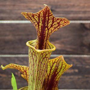 Sarracenia-flava-var-ornata-'superornata'-plante-carnivore