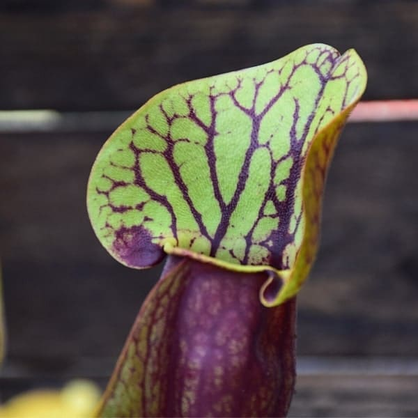Sarracenia-'Dracula'-plante-carnivore