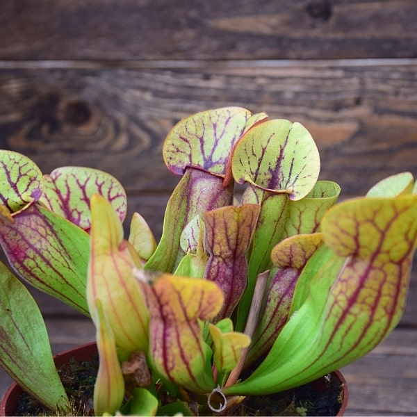 Sarracenia 'Dracula' plante-carnivore