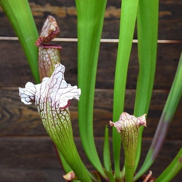 Sarracenia-'Bella'-plante-carnivore