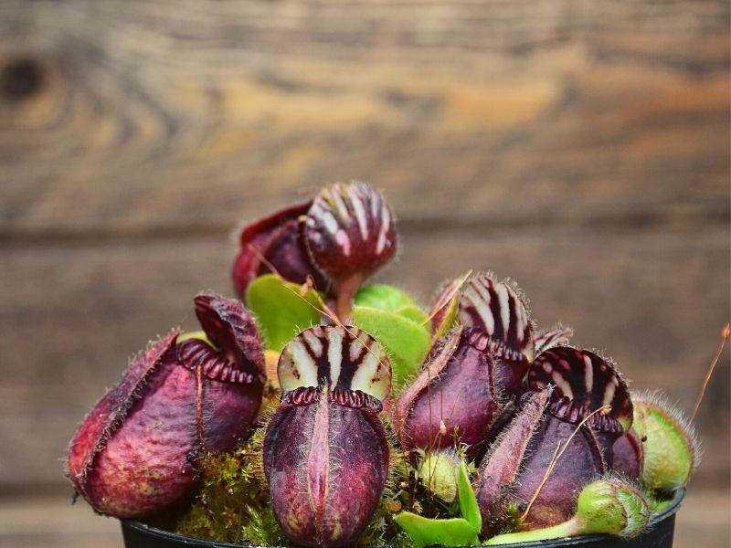 plante-carnivore-entretien-cephalotus-follicularis