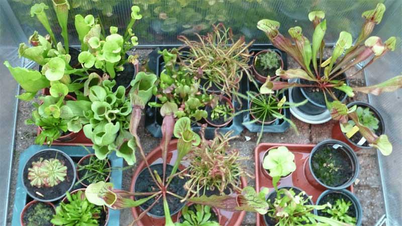 collection de plantes carnivores à 13 ans