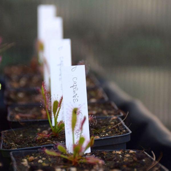 étiquette-blanche-plante-carnivore-dionée-sarracenia-drosera-nepenthes-pinguicula-étiquettes-à-planter