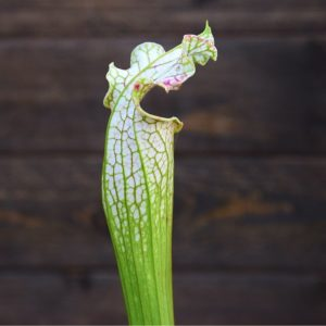Sarracenia leucophylla plante-carnivore