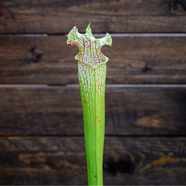 Sarracenia-leucophylla-plante-carnivore