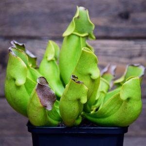 Sarracenia purpurea heterophylla
