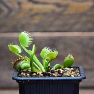 Dionaea muscipula - Degeneration - plante carnivore