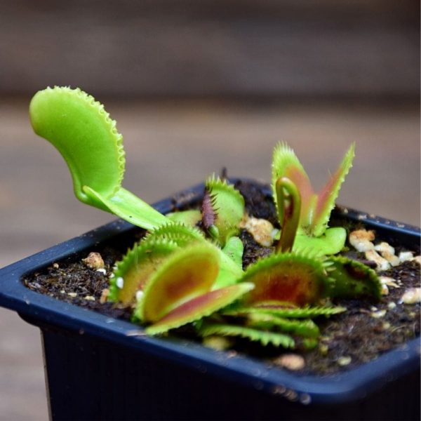 Dionaea muscipula 'Dentate x Piranha' - plante carnivore