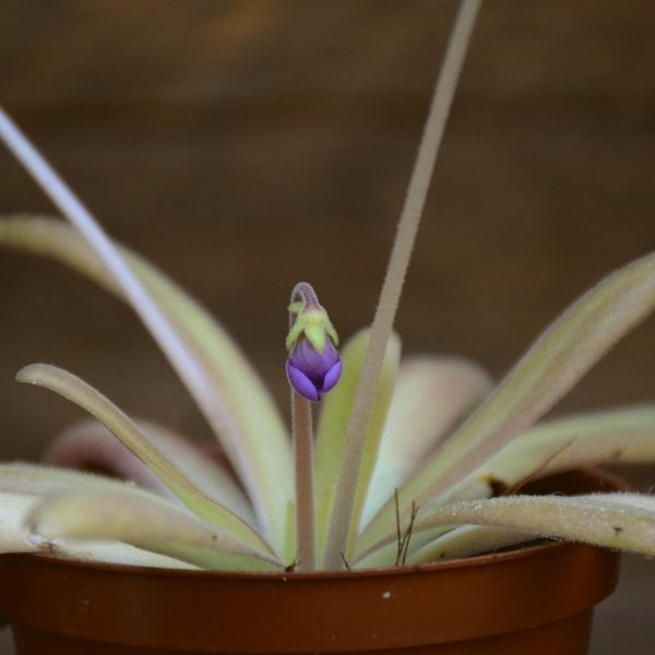 pinguicula-aphrodite-fleurs