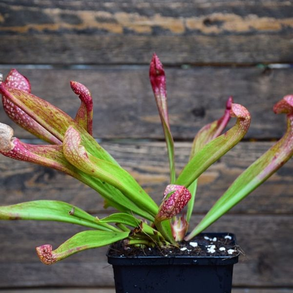Sarracenia 'Scarlet Belle'-plante-carnivore