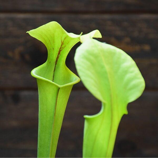 Sarracenia flava - plante carnivore