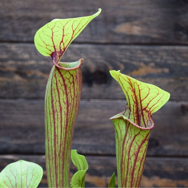Sarracenia flava x purpurea heterophylla-plante-carnivore