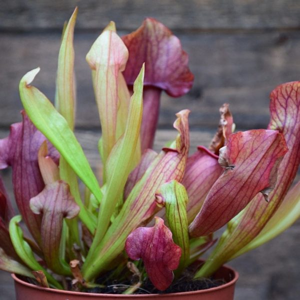 Sarracenia 'maroon' - plante carnivore