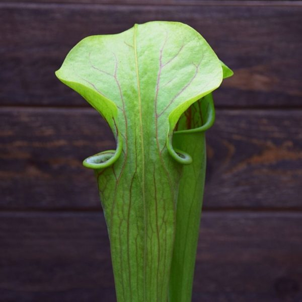 Sarracenia oreophila - plante carnivore