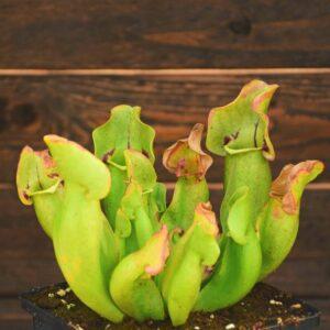 Sarracenia purpurea 'Sorrow'