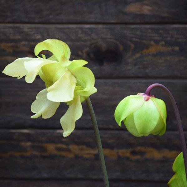 fleur sarracenia purpurea 'sorrow' x moorei 'Leah Wilkerson'