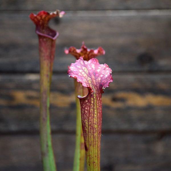 Sarracenia x farnhamii - plante carnivore