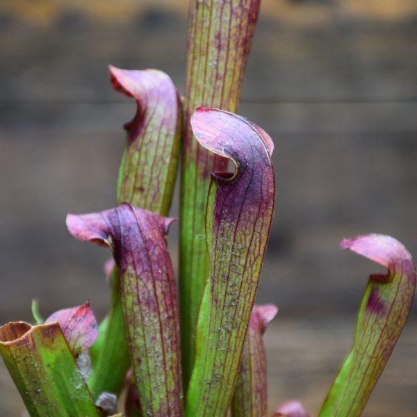Sarracenia x rehderi - plante carnivore