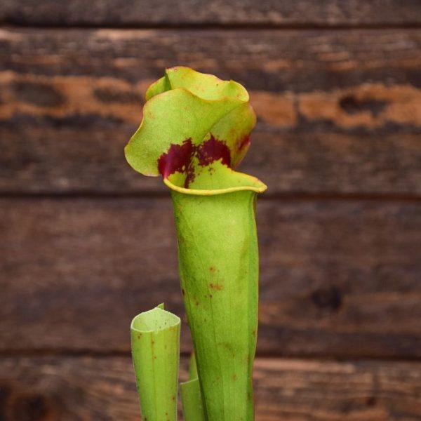 Sarracenia purpurea 'Sorrow' x 'Leah Wilkerson'