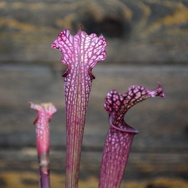 Sarracenia leucophylla 'Dark red'
