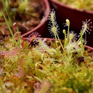 Kit de germination Drosera