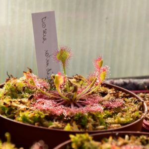 drosera rotundifolia - plante carnivore