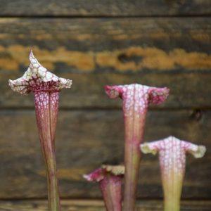 sarracenia 'Pink thing' plante carnivore