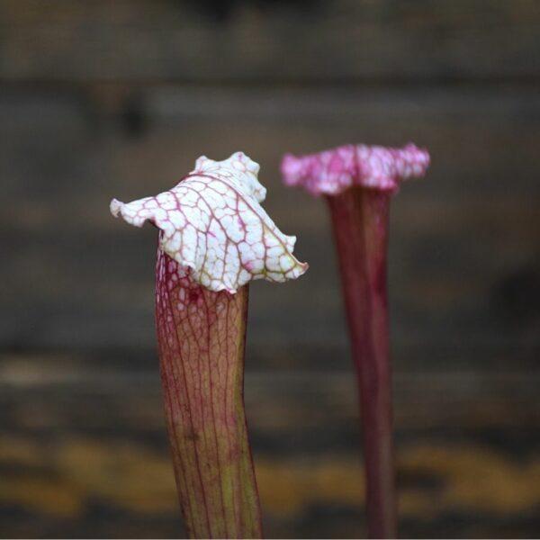 sarracenia-pink-thing-plante-carnivore