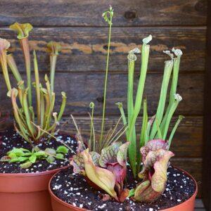 PACK EXPLORATION-plante-carnivore