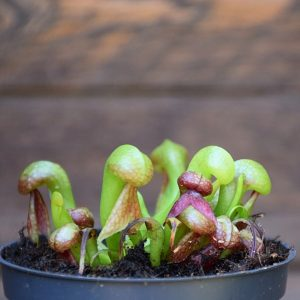 Darlingtonia californica-plante carnivore