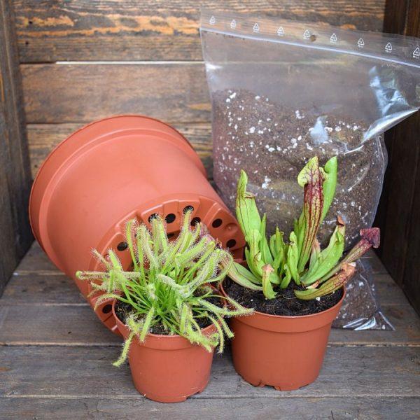 Pack plantes carnivores-Drosera-Sarracenia