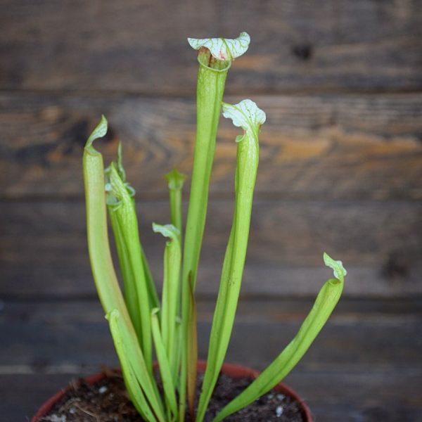 Sarracenia (S. alata x S. leucophylla - Red & Gold) X S. x moorei 'Leah Wilkerson'