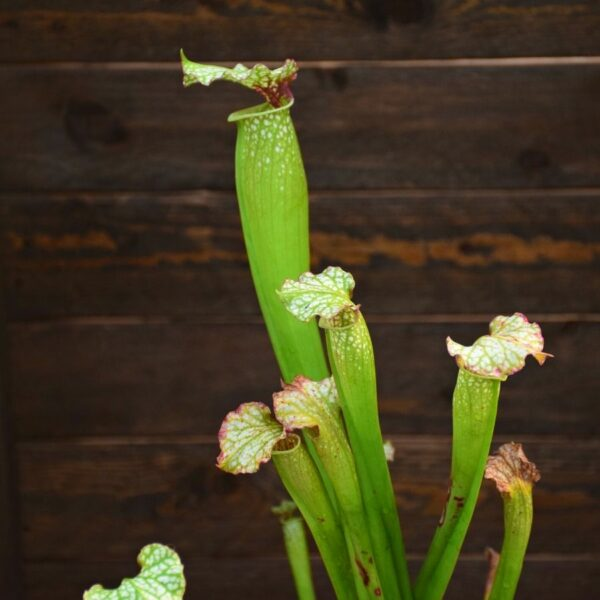 Sarracenia (S. alata x S. leucophylla - Red & Gold) X S. x moorei 'Leah Wilkerson' (11)