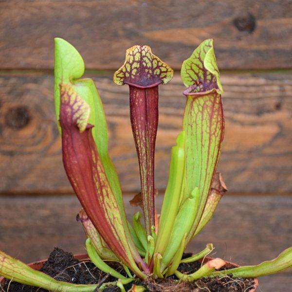 Sarracenia mitchelliana x catesbaei