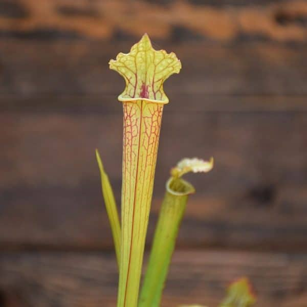 Sarracenia x moorei 'Leah Wilkerson'